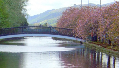 The cherry trees in Newry are loved by the local community and visitors to the area