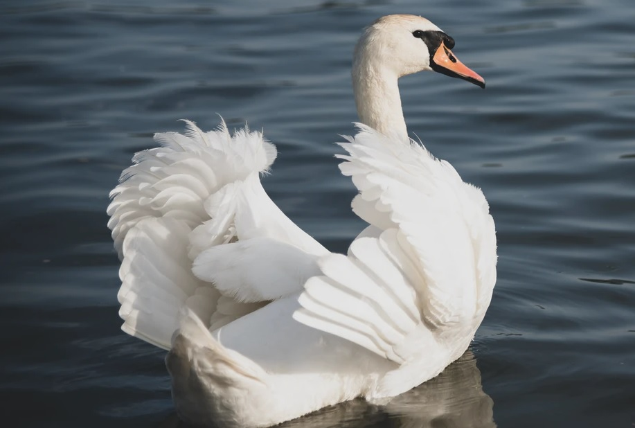 Avian Influenza detected in wild swan in Northern Ireland - NI news