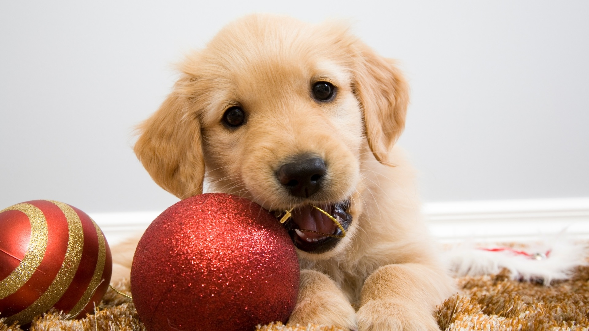 Pets Do Not Belong Under the Christmas Tree - USPCA - Newry pets