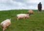 £2.2m Covid-19 financial support for pig sector announced - Northern Ireland Coronavirus News