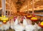 H5N8 confirmed in NI commercial flock and second case under investigation - Newry newspapers