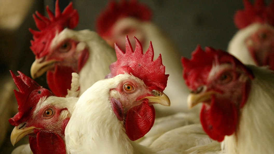 Avian Influenza Prevention Zone in Northern Ireland lifted - Newry Times - newry newspaper online